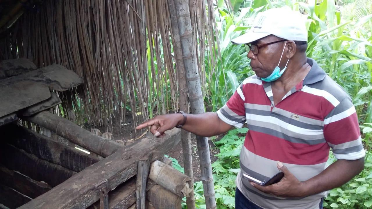 Terserang ASF Ratusan Babi Mati, Di Ile Boleng Adonara